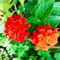 猛暑の中の花達4