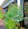 今日の植栽たち 丸葉ユーカリ 里芋 レモングラス