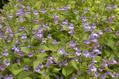 【植物図鑑】アジュガなど6種類の植物情報追加