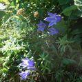夏山の高山植物