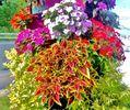 今日の植栽たち コキア コリウス ネオレゲリア