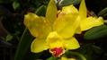 黄色いミニカトレヤ