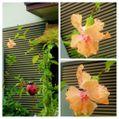 雨上がりの我が家の花達①