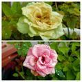 雨上がりの我が家の花達②