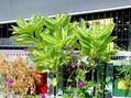 今日の植栽たち 斑入り紫陽花  斑入り夾竹桃  トックリラン