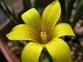 ロムレア・フラバ開花