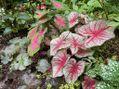 夏花壇のカラーリーフ