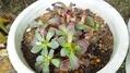 2年目のヒヤシンス、鉢植え草のおそうじ