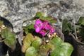 雪割草開花です