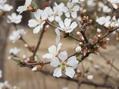 ユスラ梅も姫リュウキンカも咲きました。