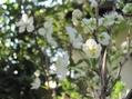 スモモの花が咲きました