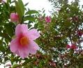 椿と山茶花