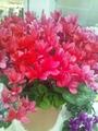 春の花々とクレマチス展・2