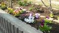 春花、花壇へ植え付けました。