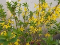 ネメシア・レンギョウ・切り戻した花✿