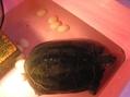 カメの産卵とイワウチワ