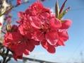 畑のはな桃が咲きました