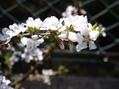 春なの~に~ (植木編)