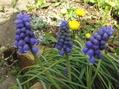 雪割草&球根の花