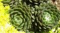 多肉植物 センペルビューム
