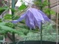 クレマチスの初花