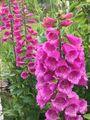 毒草ジギタリスの花壇