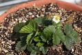 咲き始めたワイルドストロベリー