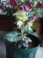 斑入りクリロが開花