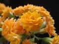 成長の良い黄色カランコエ