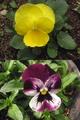 種まきビオラ&パンジー
