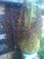 日本ミツバチの入居