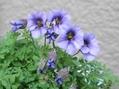 紫色のナスタチウム