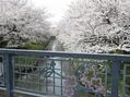 春はさくら