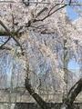 他所のお宅の桜