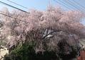 枝垂桜 満開!