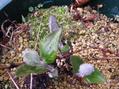 コアクチリスの芽