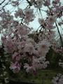 桜、満開・・・大船植物園にて②