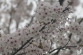 隣の公園の桜