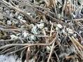 山野草の芽2