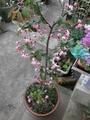 花海棠が咲いてきました。