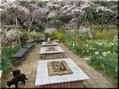 4月5日、自慢の花畑の桜は満開です。