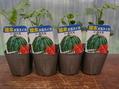第2陣、夏野菜苗届く。