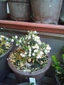 アオノツガザクラ・イワヒゲ・キバナカタクリが咲きました。