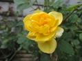 早まりそうなバラの開花