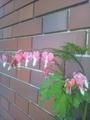 ケマン草が開花中