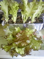 水耕栽培レタス2回目の収穫(*^_^*)