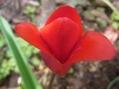 新潟県の花…チューリップ