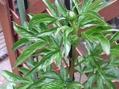芍薬と水仙
