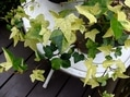 西洋オダマキ、咲いてます