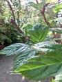 カシワバアジサイ 葉っぱが出揃いました